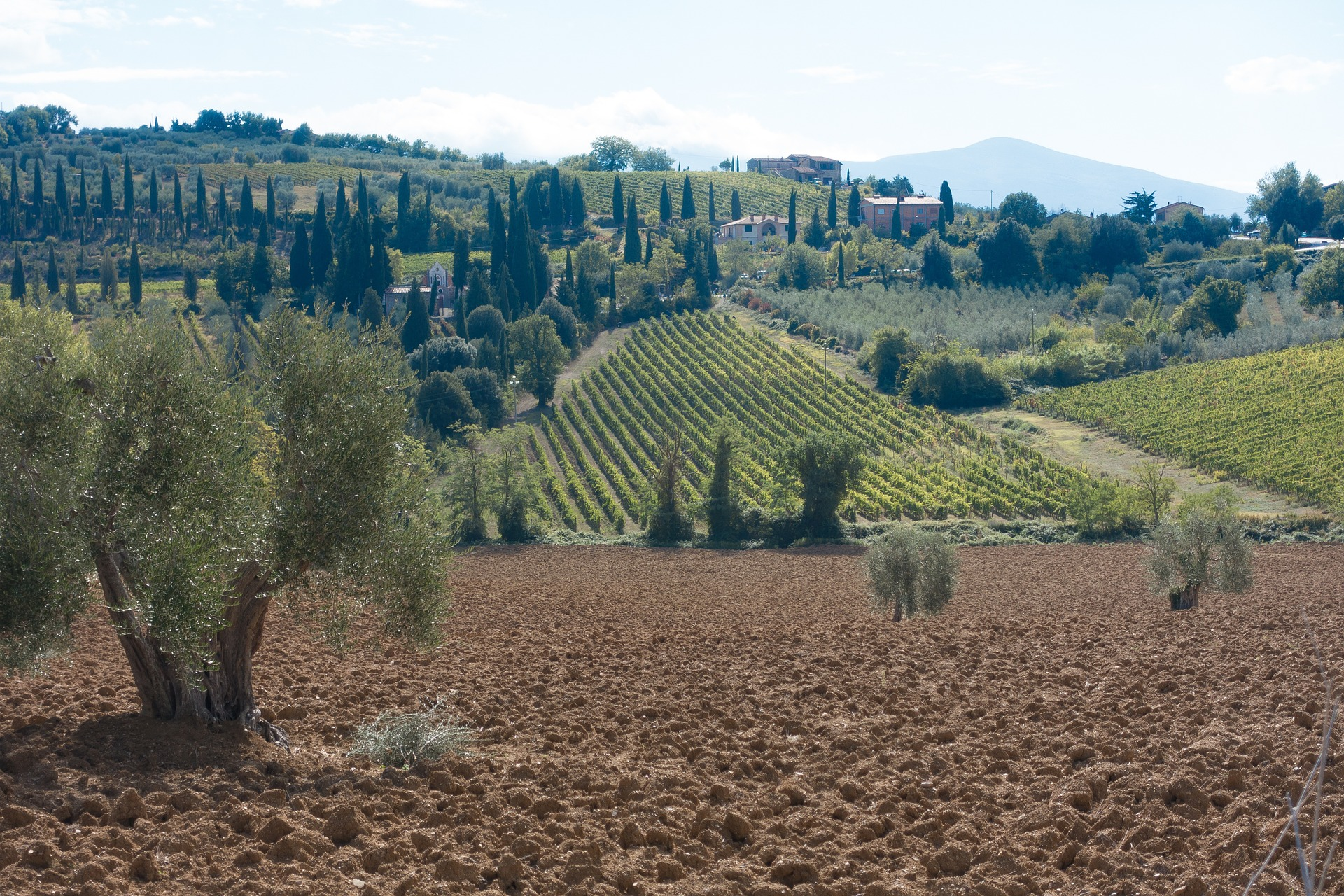 olive groove growing in the tuscany maremma